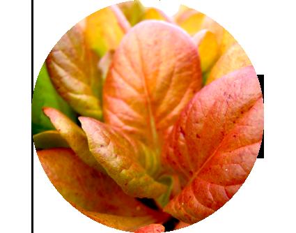 plantula_1