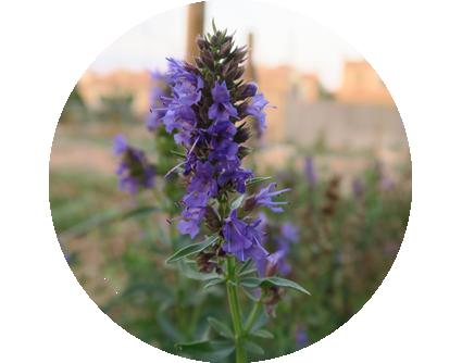 Almajara_planta_violeta